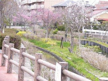 三津川公園の桜.jpg