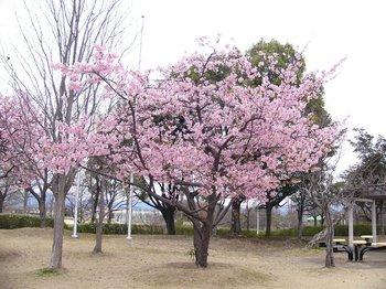 運動公園の桜2.jpg